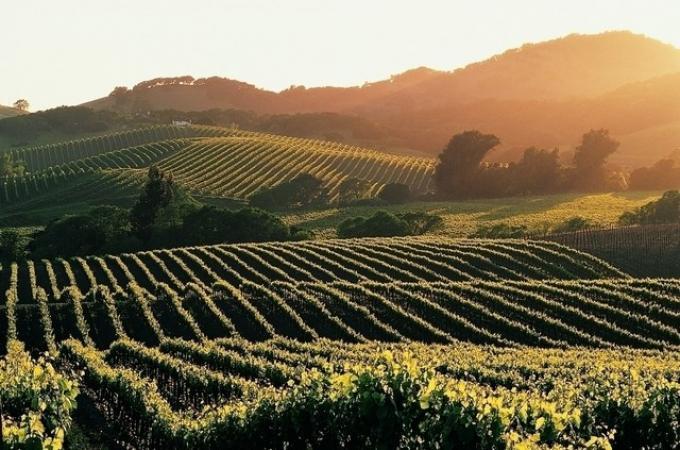 История о сезонной работе на виноградниках