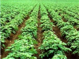 Выращивать картофель?