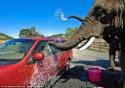 Экзотический бизнес: слоновья автомойка