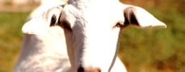 Открываем бизнес на разведении коз
