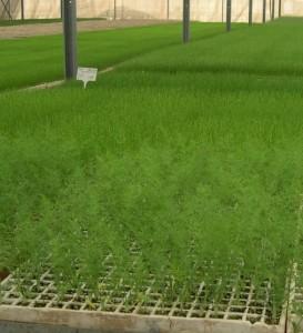 Заработок в деревне выращивать зелень