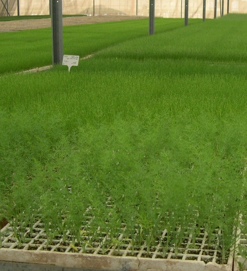 Бизнес по выращиванию петрушки и укропа 29