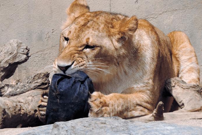 Женские джинсы, растерзанные львицами