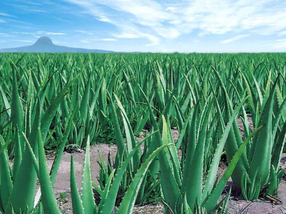 Выращивание Алоэ на полях в летнее время